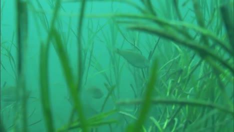 Taucher-Pflanzen-Aalgras-Auf-Dem-Meeresboden-In-Den-Kanalinseln-Kalifornien-Um-1
