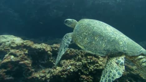 A-Green-Sea-Turtle-Swims-Underwater
