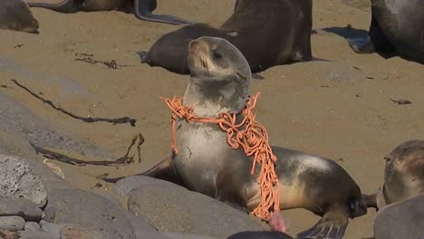 A-Sea-Lion-Is-Caught-In-A-Fishing-Net-Marine-Debris-On-A-Beach