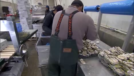 Oysters-Are-Harvested-In-A-Factory-In-Washington-State