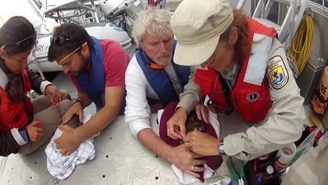 El-Servicio-De-Pesca-Y-Vida-Silvestre-De-EE.-UU.-Etiqueta-A-Las-Pardelas-Desde-Un-Barco-Después-De-Marcarlas
