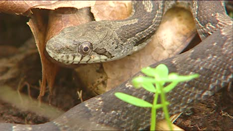 Close-Up-Of-A-Gray-Rat-Snake