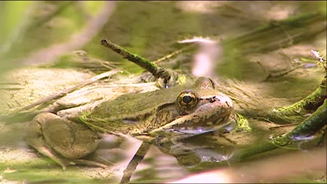 2019-Close-Up-Of-A-Bullfrog-Sitting-In-A-Pond