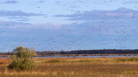 Canada-Geese-Flock-In-The-Skies-Above-A-Wetland-Or-Swamp-In-America