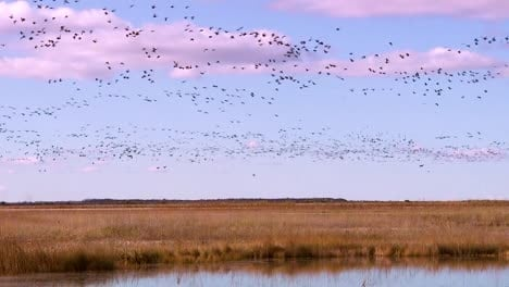 Thousands-Of-Birds-Migrate-Across-A-Wetland-Marsh-Region-In-North-America