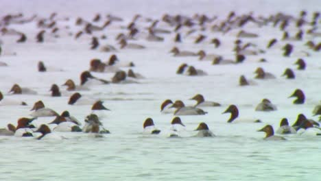 Hundreds-Of-Canvasback-Ducks-Swim-Together-In-A-Wetland-Marsh-Conservation-Area-In-North-America