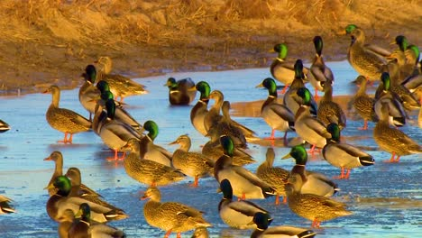 Mallard-Ducks-Congregate-In-A-Flock-On-A-Protected-Wetland-Area-In-North-America