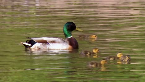 A-Mallard-Duck-And-Baby-Chicks-Swim-In-A-Protected-Wetland-Area-In-North-America