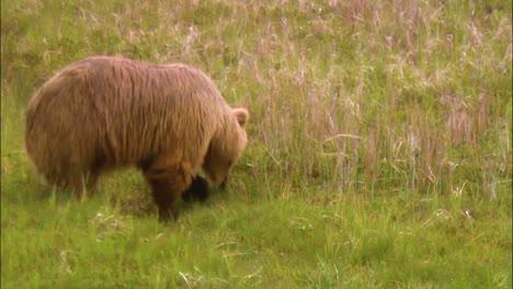 Ein-Braunbär-Läuft-In-Der-Wildnis-In-Nordamerika