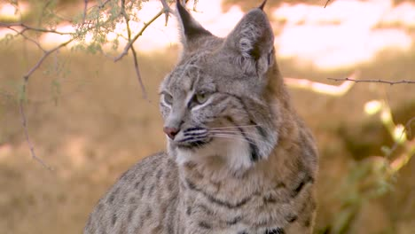 Nice-Closeup-Of-A-Bobcat-Face-In-The-Forest