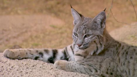Nice-Closeup-Of-A-Bobcat-Face-In-The-Forest-1