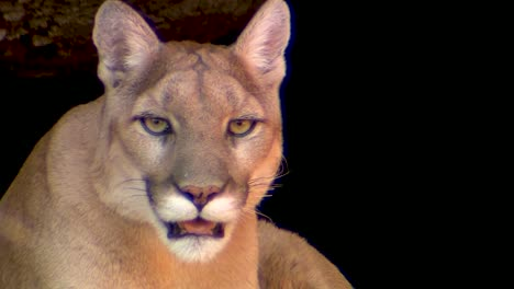 Good-Close-Up-Shot-Of-A-Mountain-Lion-Looking-At-The-Camera
