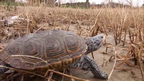 A-Turtle-Makes-Its-Way-Across-A-Muddy-Marsh-Or-Wetland