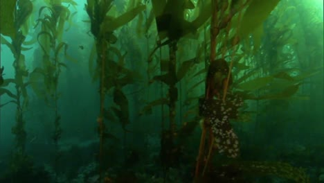 Underwater-Shot-Of-The-Kelp-Forests-In-The-Channel-Islands-Marine-Sanctuary-California