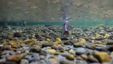 Underwater-View-Of-Sockeye-Salmon-Having-Turned-Red-At-the-End-Of-their-Lifecycle-Swim-Upstream-To-Spawn