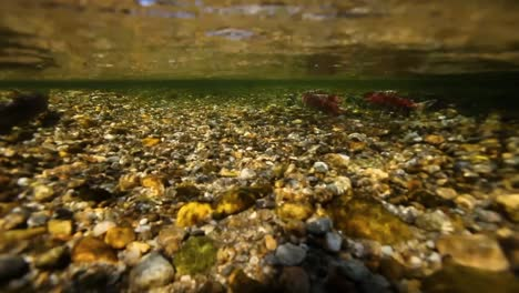 Underwater-View-Of-Sockeye-Salmon-Having-Turned-Red-At-the-End-Of-their-Lifecycle-Swim-Upstream-To-Spawn-3