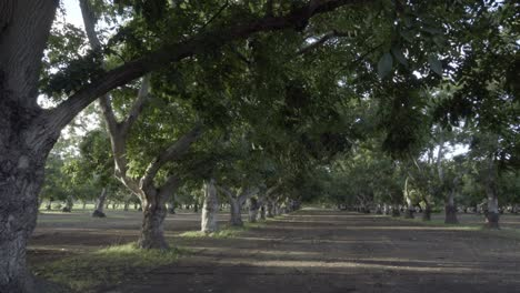Dolly-shot-of-a-grove-of-walnut-trees-in-the-rich-farm-land-and-orchard-country-of-the-Lompoc-Valley-California