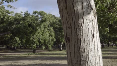 Dolly-shot-of-a-grove-of-walnut-trees-in-the-rich-farm-land-and-orchard-country-of-the-Lompoc-Valley-California-3