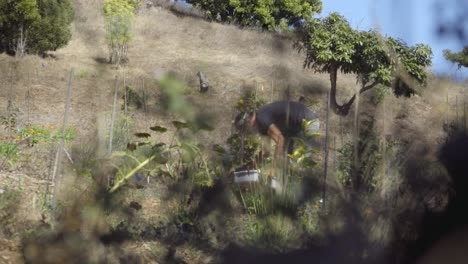 A-farm-worker-picks-vegetables-on-an-experimental-organic-farm-and-permaculture-site-in-Summerland-California