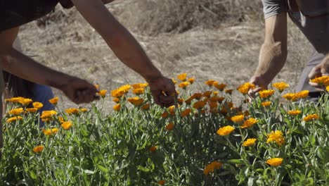 Farmers-pick-flower-blossoms-on-an-experimental-organic-farm-and-permaculture-site-in-Summerland-California