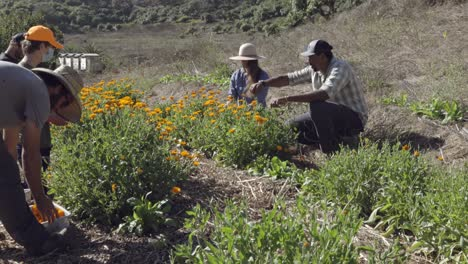 Farmers-pick-flower-blossoms-on-an-experimental-organic-farm-and-permaculture-site-in-Summerland-California-1