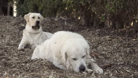 A-white-Labrador-Retriever-and-an-old-Great-Pyrenees-at-rest-on-a-farm-in-Summerland-California