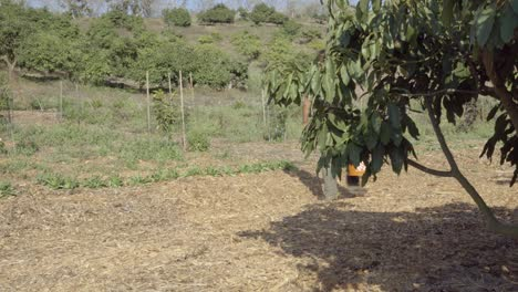 A-farmer-walks-along-the-edge-of-an-avocado-orchard-on-an-experimental-permaculture-propery-Summerland-CA