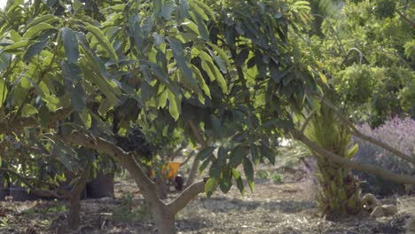 Beautiful-dolly-shots-of-an-organic-avocato-orchard-on-an-experimental-permaculture-site-in-Summerland-California