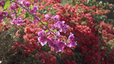 A-delicate-spider-web-in-backlit-bougainvillea-and-a-beautiful-shot-of-purple-lavender-in-soft-warm-afternoon-light-CA
