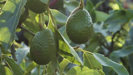Close-up-of-organic-sustainably-grown-avocado-tree-and-beautiful-fruit-grown-on-permaculture-farm-in-Summerland-CA