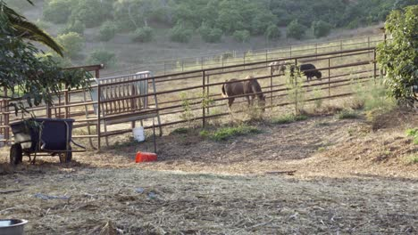 A-horse-a-cow-and-a-buffalo-inside-a-coral-on-a-sustainable-permaculture-farm-and-ranch-in-Summerland-California