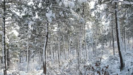 Forest-Winter-Snow-Tree