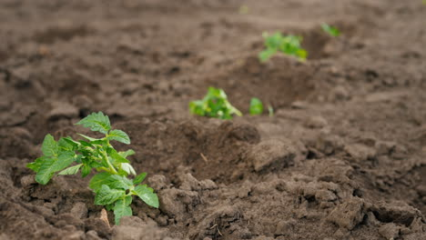 Farmer-Puts-Tomato-Seedlings-In-Holes-On-The-Field-Spring-Work-On-The-Farm