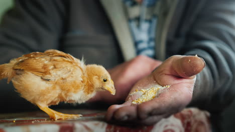 Funny-Little-Chick-Pecks-Food-With-Old-Farmer-s-Hands
