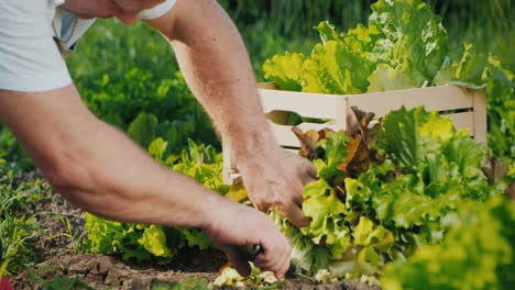 Farmer-Cuts-Lettuce-And-Puts-It-In-A-Drawer