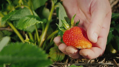 Farmer-s-Palm-With-A-Large-Strawberry