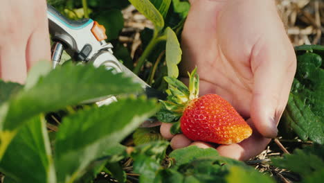 Farmer-Carefully-Cuts-Strawberry-Berries-From-Bush-Harvest