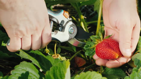 Farmer-Carefully-Cuts-Strawberry-Berries-From-Bush-Harvest-1