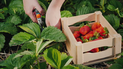 Farmer-Carefully-Cuts-Off-Strawberry-Berries-And-Puts-In-A-Box