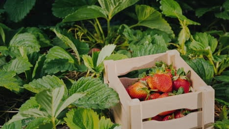 Farmer-s-Hand-Puts-A-Large-Strawberry-Berry-In-A-Box