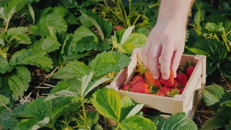 Farmer-s-Hand-Puts-A-Large-Strawberry-Berry-In-A-Box-1