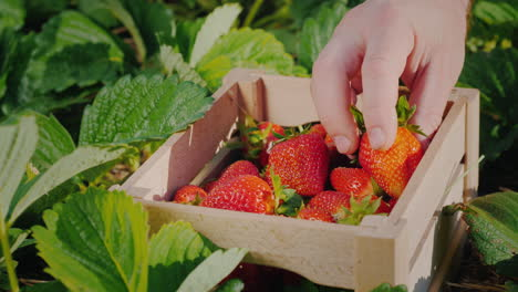 Farmer-s-Hand-Puts-A-Large-Strawberry-Berry-In-A-Box-2