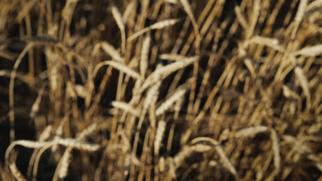 Hands-with-glasses-of-beer-clink-glasses-in-a-wheat-field-3