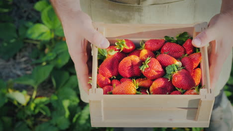 Top-View-Of-A-Farmer-Holding-A-Wooden-Box-With-Strawberries