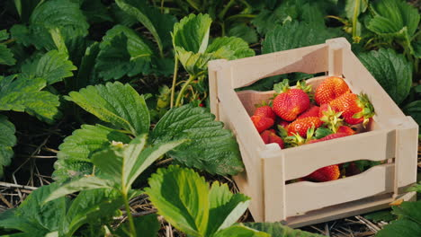 Appetizing-Strawberries-In-A-Box-Stands-On-The-Field