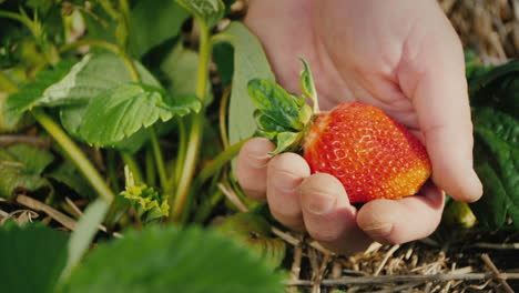 A-Huge-Strawberry-Berry-On-The-Farmer-s-Palm