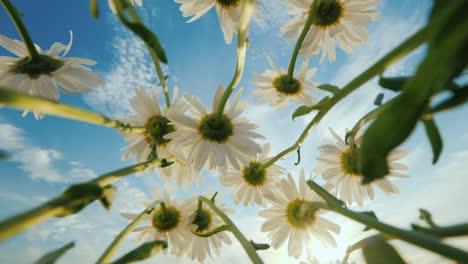Daisies-grow-on-a-meadow-sway-against-the-blue-sky-and-sun