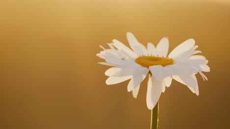Daisy-grows-in-a-field-of-flowers