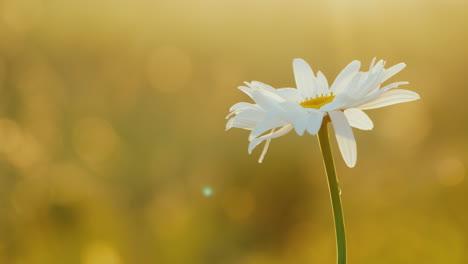 Daisy-grows-in-a-field-of-flowers-1