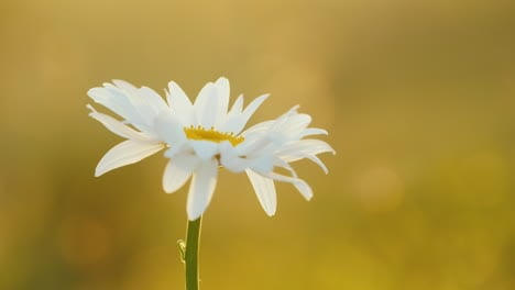 Daisy-grows-in-a-field-of-flowers-2